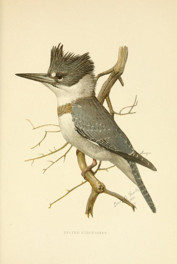 Belted kingfisher perched on a branch